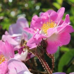 rosesnoves01-300x300