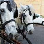 Cap de setmana: els animals de la ciutat surten en cavalcada! Sant Andreu celebra els Tres Tombs